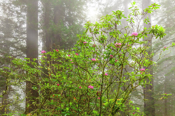 Wall Art - Photograph - Redwoods Spring by Andrew Soundarajan