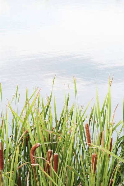 Cattails Wall Art - Photograph - Reeds And Tall Grasses Against A Pond by Jon Schulte
