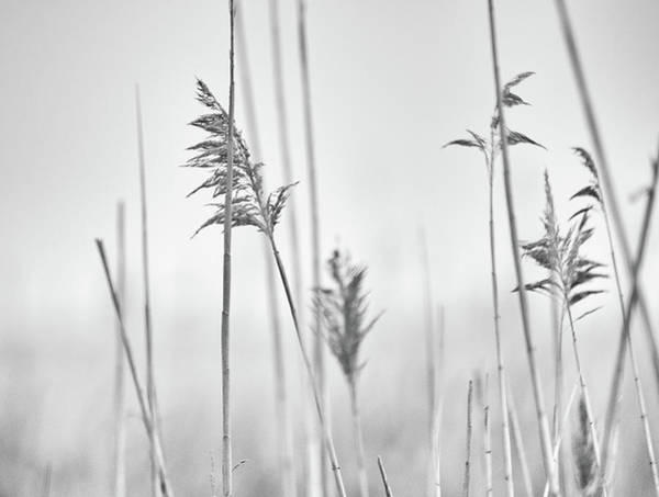 Photograph - Reeds In The Mist  by Marianne Campolongo