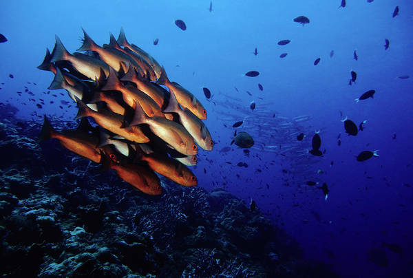 Fish Photograph - Reef Rush Hour, Snappers And Barracudas by Tammy616