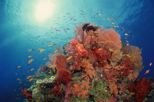 Coral Photograph - Reef Scenic Of Hard Corals , Soft by Comstock