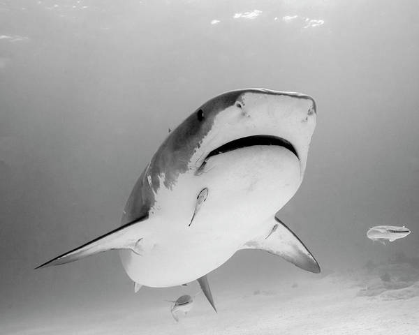 Photograph - Reef Shark Close-up, Tiger Beach by Brent Barnes