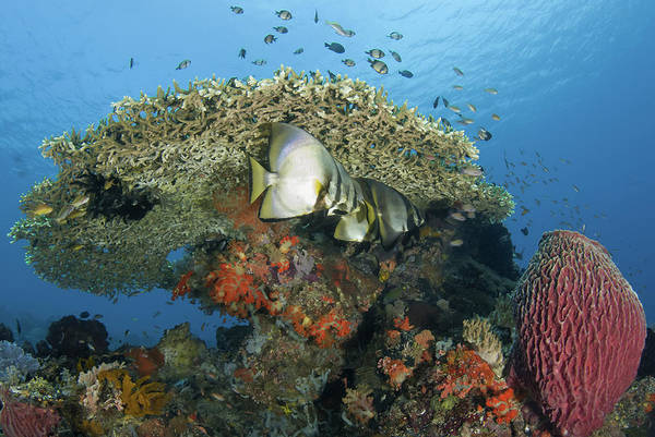 Sea Life Photograph - Reefscape With Spadefish And Barrel by Jones/shimlock-secret Sea Visions
