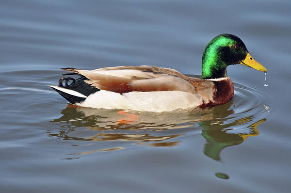 Photograph - Reflecting Mallard Duck by Bruce Gourley