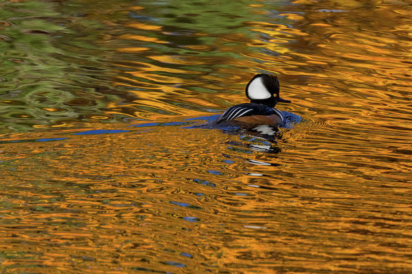 Photograph - Reflecting With Hooded Merganser by Darryl Hendricks