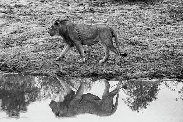 Photograph - Reflection Of A Male Lion In Monochrome by Mark Hunter