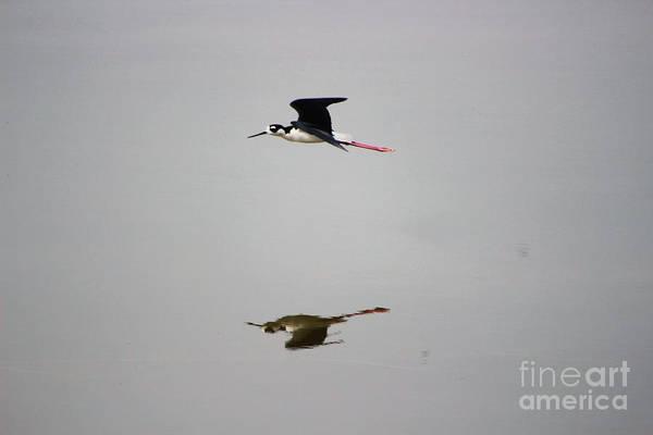 Photograph - Reflection Of Black Neck Stilt Flying by Colleen Cornelius
