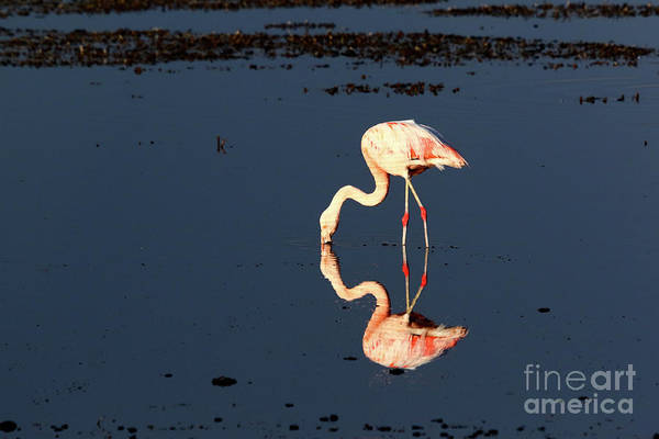 Photograph - Reflections Of A Chilean Flamingo by James Brunker