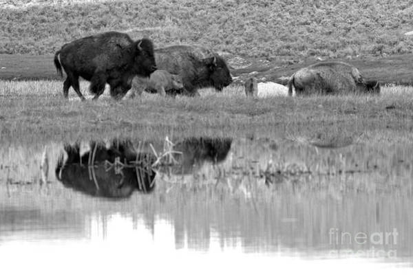 Wall Art - Photograph - Reflections Of The Yellowstone Bison Herd Black And White by Adam Jewell