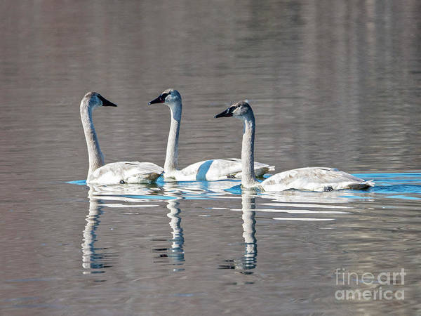 Waterfowl Wall Art - Photograph - Reflections Of Three by Mike Dawson