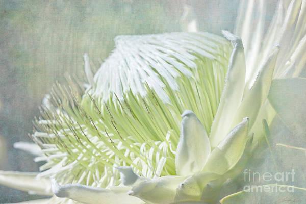 Proteaceae Photograph - Regal Beauty by Linda Lees
