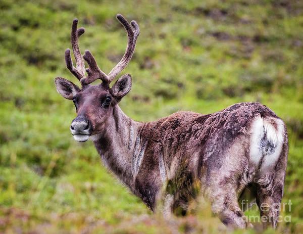 Photograph - Reindeer, Denali National Park, Alaska by Lyl Dil Creations