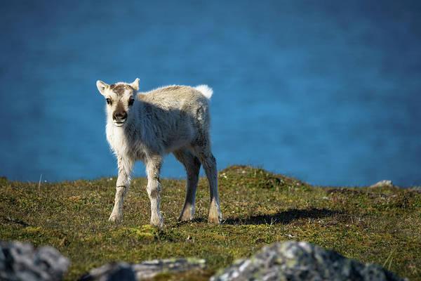 Photograph - Reindeer Grazing In Spitzbergen by Kai Mueller