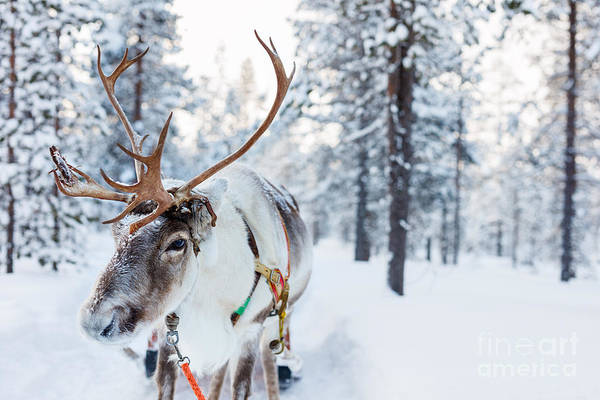 Wall Art - Photograph - Reindeer In A Winter Forest In Finnish by Blueorange Studio