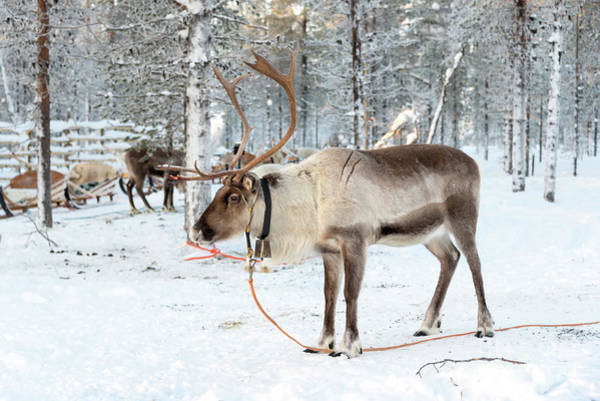 Finnish Photograph - Reindeer In The Snow by Delphimages Photo Creations
