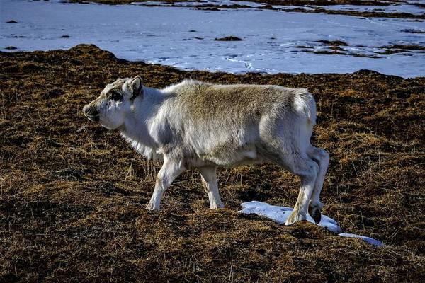 Photograph - Reindeer On Spitsbergen by Kai Mueller
