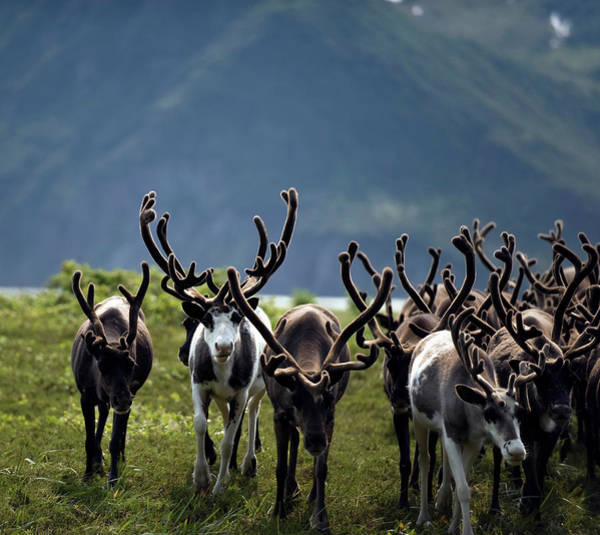 Kamchatka Photograph - Reindeer Rangifer Tarandus Herd by Danita Delimont