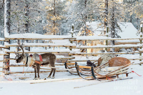 Finnish Photograph - Reindeer Sleigh by Delphimages Photo Creations