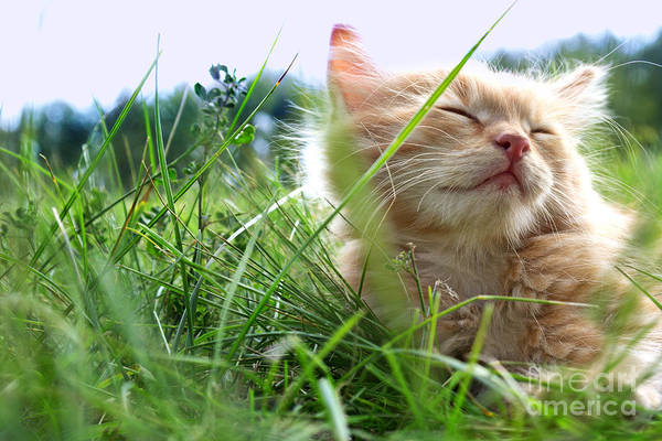 Activity Wall Art - Photograph - Relax Kitten On Green Grass by Chepko Danil Vitalevich