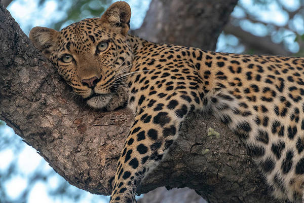 Photograph - Relaxed Leopard by Mark Hunter