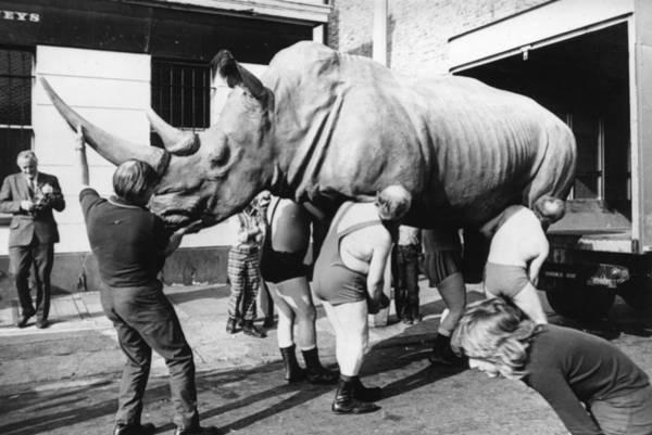 1972 Photograph - Removing Rhino by Keystone