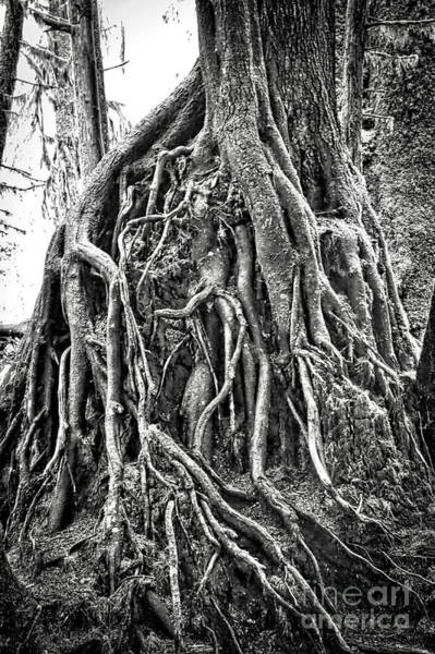 Photograph - Resiliency In The Rainforest - Black And White by Carol Groenen