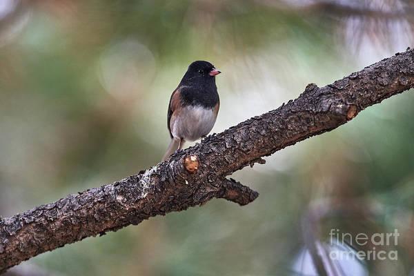 Photograph - Resting Bird by Robert WK Clark
