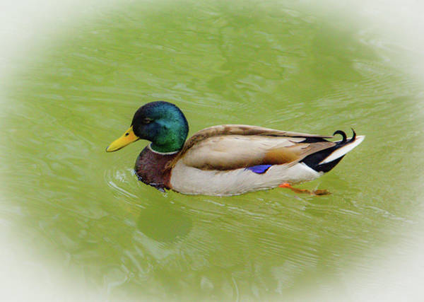 Photograph - Resting Duck by Allen Nice-Webb
