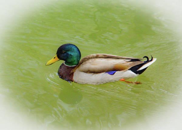 Photograph - Resting Duck by Allen Nice-Webb