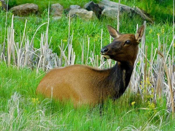 Photograph - Resting Elk by Dan Miller