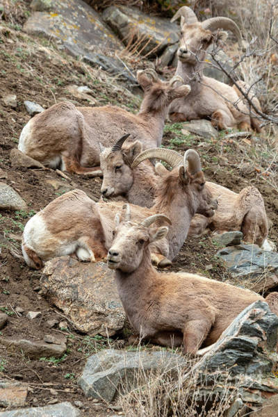 Photograph - Resting Herd Of Bighorn Sheep by Steve Krull