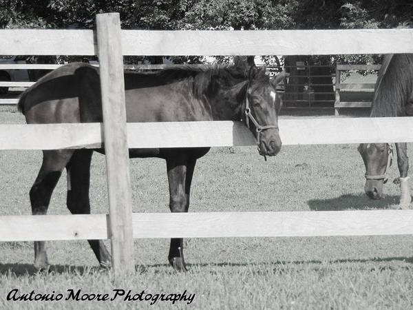 Photograph - Resting Horse by Antonio Moore