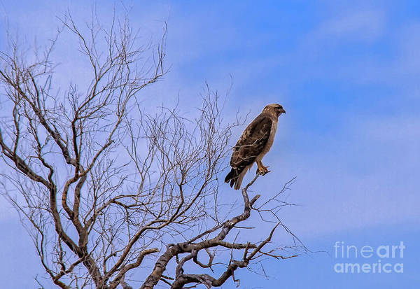 Wall Art - Photograph - Resting Red-tailed Hawk by Robert Bales