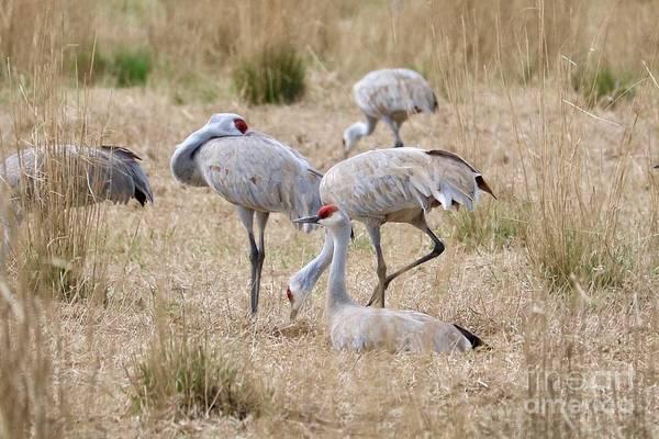 Photograph - Resting Sandhill Cranes In Field by Carol Groenen