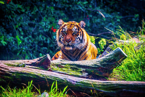 Wall Art - Photograph - Resting Sumatran Tiger by Garry Gay