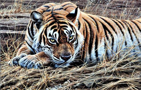 Painting - Resting Tiger By Alan M Hunt by Alan M Hunt