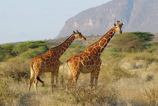 Giraffe Photograph - Reticulated Giraffe, Giraffa by Juergen Ritterbach