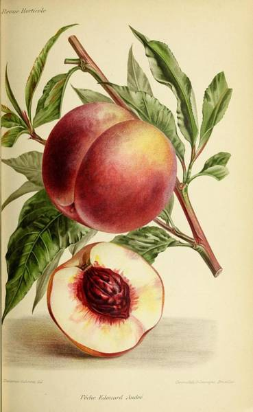 Wall Art - Painting - Revue Horticole  1915  18 by Revue horticole