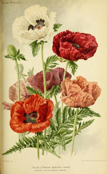 Wall Art - Painting - Revue Horticole  1915  28 by Revue horticole