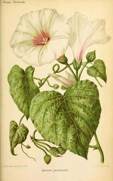 Wall Art - Painting - Revue Horticole  1915  35 by Revue horticole