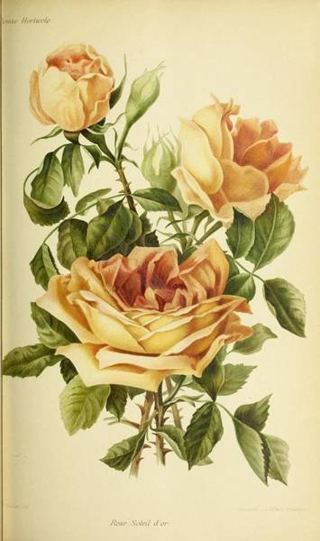 Wall Art - Painting - Revue Horticole  1915  39 by Celestial Images