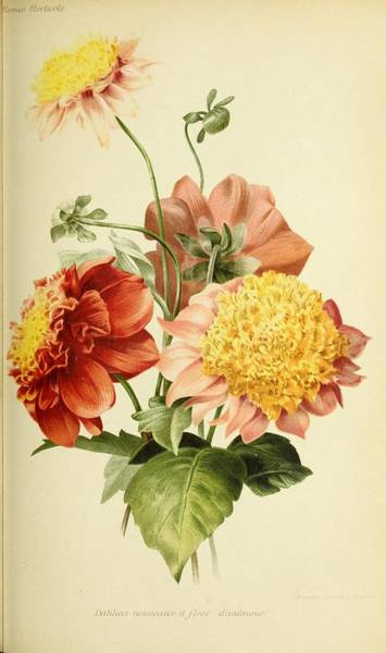 Wall Art - Painting - Revue Horticole  1915 40 by Celestial Images