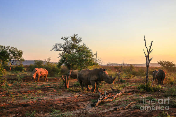 Big Five Wall Art - Photograph - Rhino Herd Moving Around At Sunset by Jmx Images