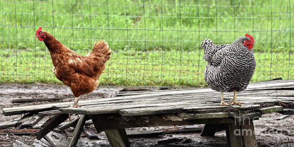 Wall Art - Photograph - Rhode Island Red And Plymouth Rock Hens by Catherine Sherman