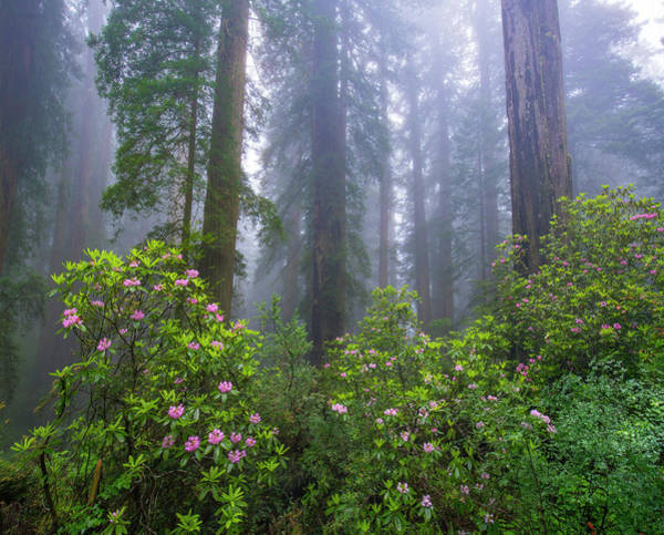 Photograph - Rhododendron And Coast Redwoods In Fog by