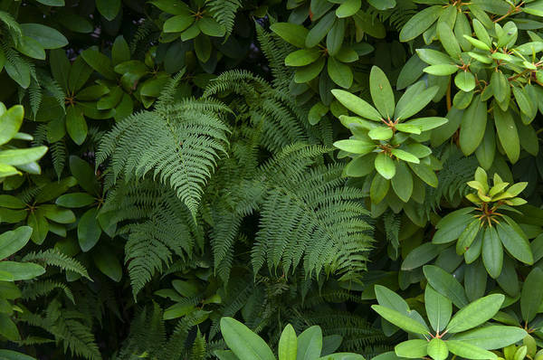 Photograph - Rhododendron And Fern Leaves by Jenny Rainbow