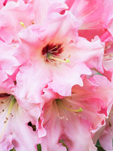 Wall Art - Photograph - Rhododendron Bloom by William Sutton