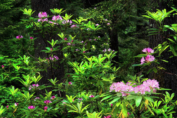 Photograph - Rhododendron Contrast by Leland D Howard