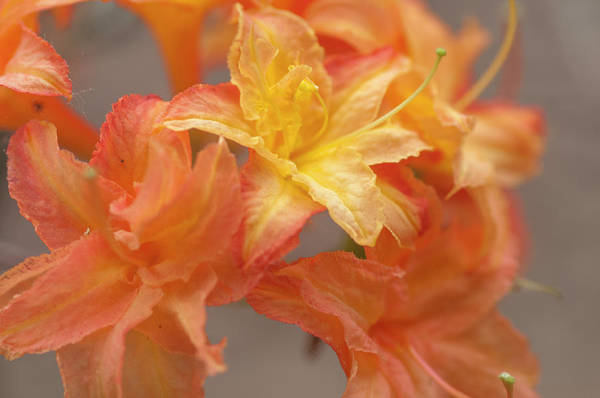 Photograph - Rhododendron Csardas Bloom by Jenny Rainbow