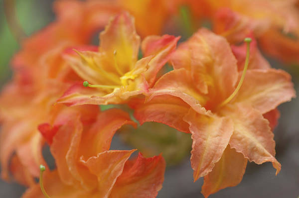 Photograph - Rhododendron Csardas by Jenny Rainbow